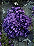1 Starter Plant of Campanula Portenschlagiana - Spring shipping