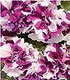 Fiore - Petunia - Double Pirouette Viola e Bianco - 30 Semi Pellettati