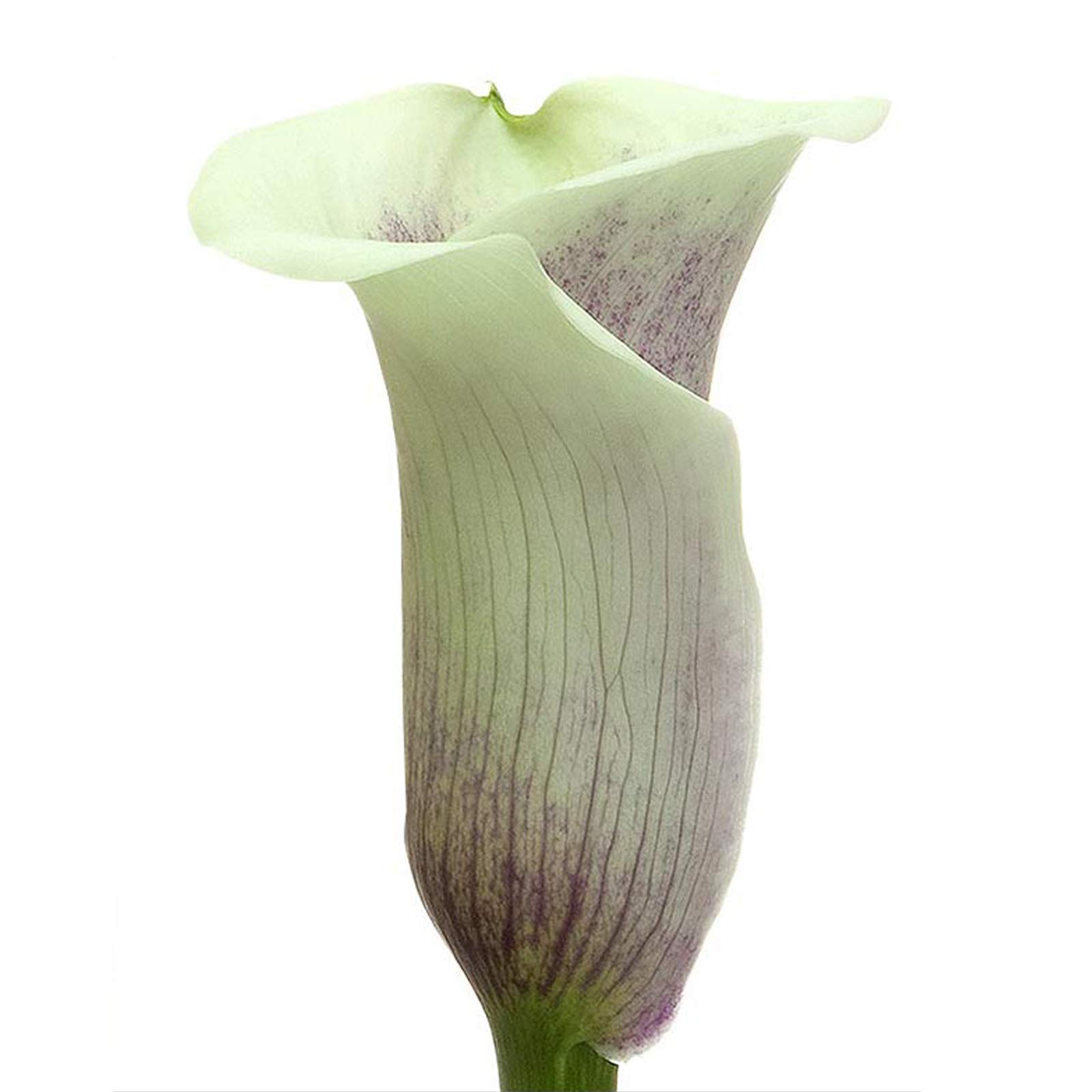 Farm Fresh Natural Picasso Mini Calla - 60 Stems by Bloomingmore