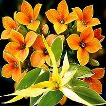 Ylang Ylang Neroli Orange Blossoms - Soap making premium fragrance oil, Bath Body Safe, Lotions, Creams 60ml/2oz