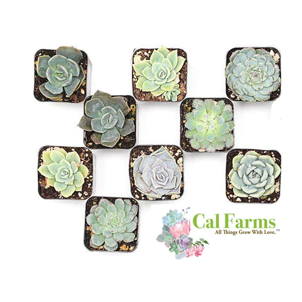 CAL Farms 2'' Rosettes Succulents - for Weddings, Private Parties, Gifts, Party Favors, Gardening and Special Events (Pack of 9) by CAL Farms (Image #1)