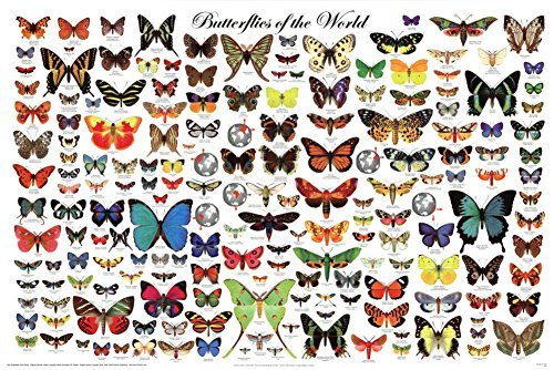 Butterfly Large Poster - Laminated Beautiful Butterflies of the World Poster 24x36