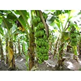 SS0144 Banana Fruit Live Plants Grand Nain Plant Four (4) Garden Outdoor Yard Best Gift