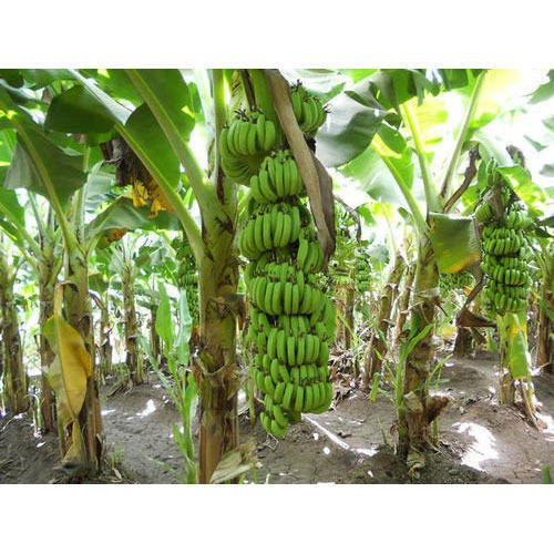 SS0144 Banana Fruit Live Plants Grand Nain Plant Four (4) Garden Outdoor Yard Best Gift by SS0144 (Image #1)