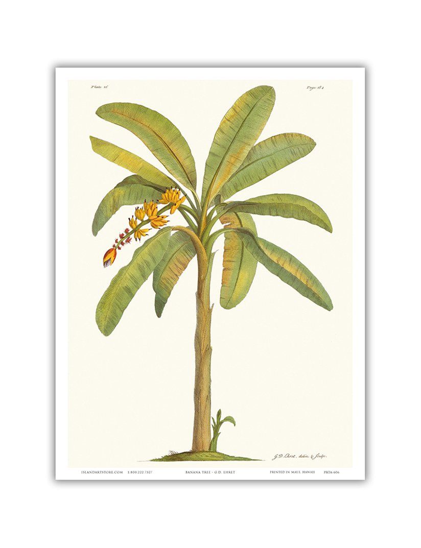 - Plate From 18th Century The Natural History of Barbados Banana Tree 12 x 18in Vintage Botanical Illustration by Georg Dionysius Ehret c.1700s Master Art Print Musa sapientum