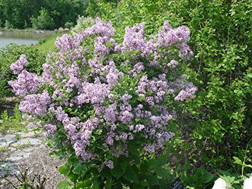 Syringa meyeri 'Palibin' (Dwarf Korean Lilac) Shrub, lavender flowers, #3 - Size Container by Green Promise Farms (Image #1)