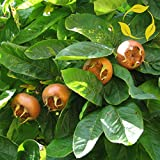 Medlar Mespilus Germanica 5 Seeds