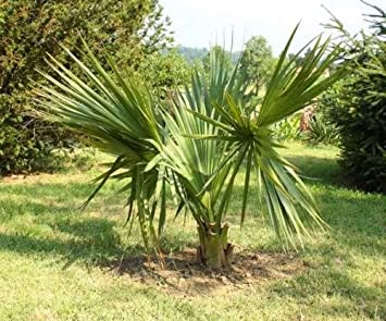 SABAL PALM TREES, BARE ROOT SAVES YOU SHIPPING COSTS