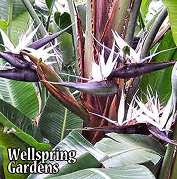 Amazon bird of paradise white giant strelitzia nicolai bird of paradise white giant strelitzia nicolai flower live plant mightylinksfo