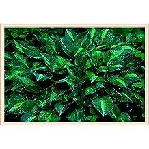 200pcs/bag hosta plants,Hosta 'Whirl Wind' in full shade,hosta flower,flower seeds,grass seeds,Ornamental Plants for home garden