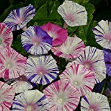 Kings Seeds - Ipomoea Purpurea Carnevale di Venezia - 45 Seeds