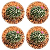 MSD Round Coasters Image ID 24585900 Golden ball cactus Echinocactus grusonii