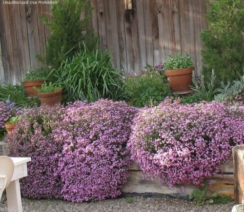 Rock Soapwort, Saponaria Ocymoides,Flowers Seeds,Dense carpet of rose-pink bloom Carpet Rose
