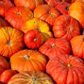 Cinderella Pumpkin Garden Seeds (Rogue Vif d'Etampes) - French Heirloom Pumpkins - Non-GMO - Red-Orange Variety - Vegetable Gardening Seed