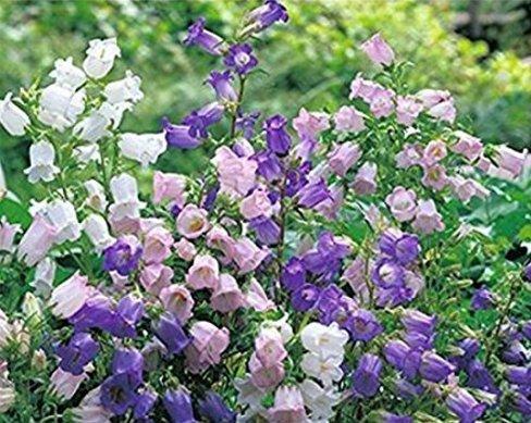 Nianyan 50pcs Mix-colors Canterbury Bells Seeds Abutilon Striatum Dickson Campanula Medium Seeds Beautiful Bonsai Flower Seeds