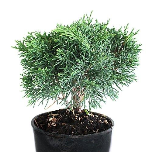 Shimpaku Juniper Evergreen Great for Bonsai