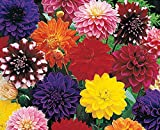 (3) Large Flowering Decorative Dahlia Mix Tubers, Root Starts, Bulbs, SeedsBulbsPlants&More