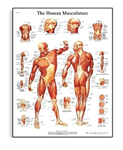 "Human Musculature Anatomical Poster Chart,Silk, Large Size: 24"" Width x 32"" Height, for Classroom, Clinic, Hospital, Doctor's Office Used"