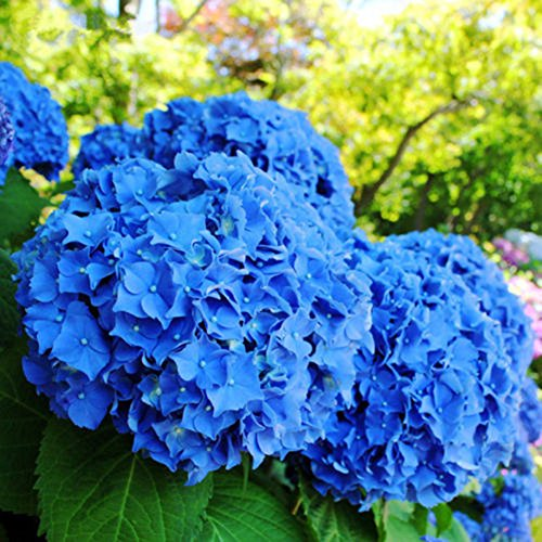 Hydrangea Potted Plant - 50pcs Garden Potted Blue Hydrangea Flower Seeds Flower Plant Rare Seeds