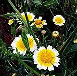 Futaba Marguerite Chrysanthemum frutescens Argyranthemum Perennial Herbs 200 Seeds