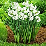 30 Ziva Paperwhites 13-15cm- Indoor Narcissus: Narcissus Tazetta--nice, Healthy Bulbs for Holiday Forcing!