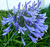 "Agapanthus Africanus 'Lily of The Nile' - 3 Live Plants - 2"" Pot Size - Blooming Groundcover"