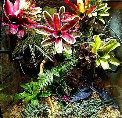 Bromeliad Neoregelia Collection 10 Pack 10 Varieties Plant by Red (Image #1)
