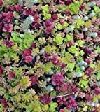 Sedum mixed 100 seeds