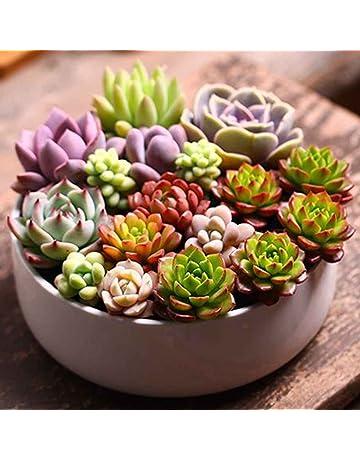 Sunlera 100pcs / bolsa de planta suculenta Semillas Semillas Semillas de flores para la sala de