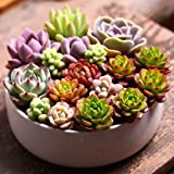 Korowa 100pcs/Bag Succulent Plant Seeds Flower Seeds for Living Room Home Garden Plant Seeds as Pictures Show as Pictures Show