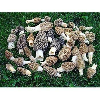 Amazoncom Morel Mushroom Spores Seeds Spore Grow Kit Makes 5 Gals