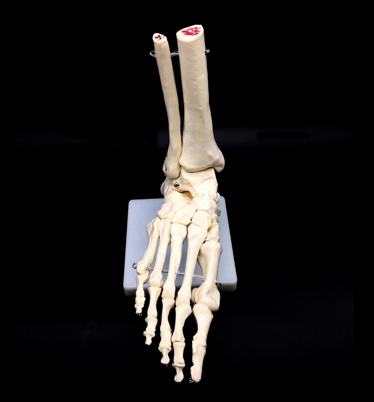 Hand Joint Model with Stand for School Teaching Materials Decoration Anatomical Education Model LBYLYH Life-Size Human Skeleton Foot Ankle