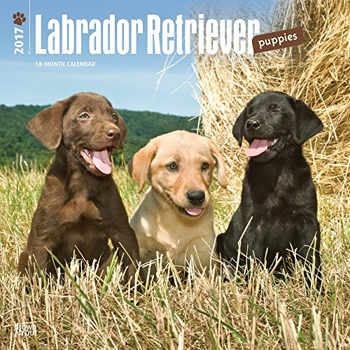 Labrador Retriever Puppies 2017 Wall Calendar