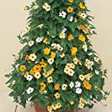 Thunbergia alata Mix Flower Seeds from Ukraine