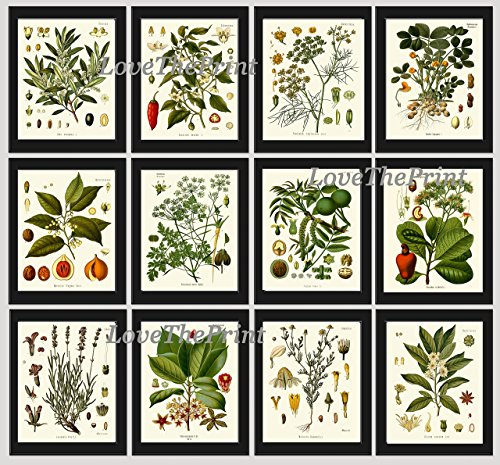 Herbs and Spices Print Set of 12 Antique Beautiful Botanical Olive Peanut Walnut Anise Chili Red Pepper Chamomile Cashew Parsley Lavender Home Room Decor Wall Art Unframed KOH