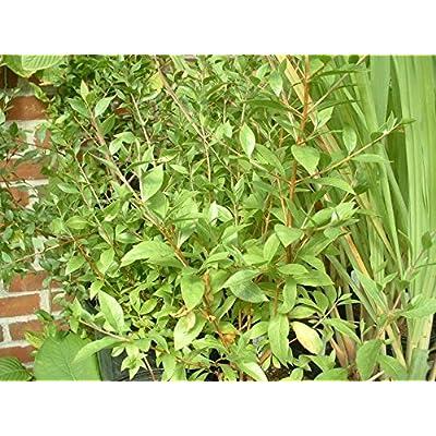 Lawsonia inermis, Henna Starter Plant (3 Plants) : Garden & Outdoor