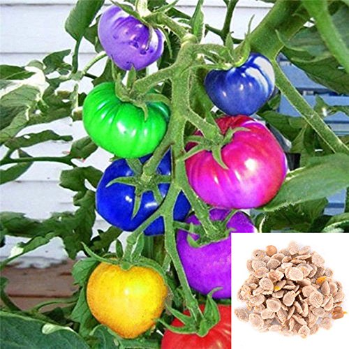 (100x Rainbow Tomato Seeds Colors Bonsai Organic Vegetables Seed Home gardenytãÿãÿ)