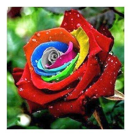 Rosa Colores Del Arco Iris 1 Semillas Amazones Jardín