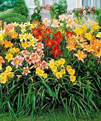 5 Daylily,Night Whispers Mix, re-blooming throughout the season. PLANT Root