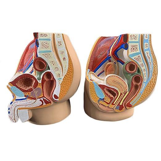 Ltlghy Modelo Anatómico Sagital Pélvico Modelo De órgano