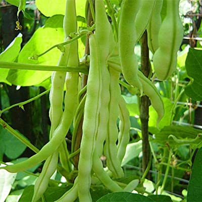 Mifutu Seed Sand Plants- 100 Seeds Gram Green Vigna Radiata Vegetable Green Beans Seeds Vegetables: Home Improvement