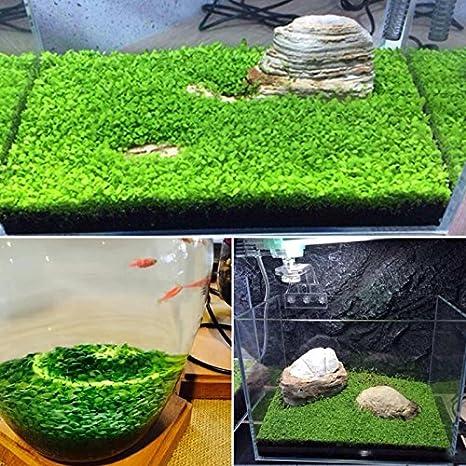 Planta para acuario con forma de césped de agua para decoración de jardín