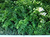 4 Macho Boston Fern Nephrolepis Biserrata, Well Rooted Each in Its Own 4 Inch Pot Review