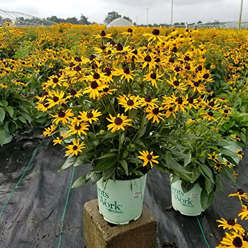 (Plants That Work - Rudbeckia 'Little Goldstar' (Black Eyed Susan) Perennial, yellow flowers, 8`` - Size Container)