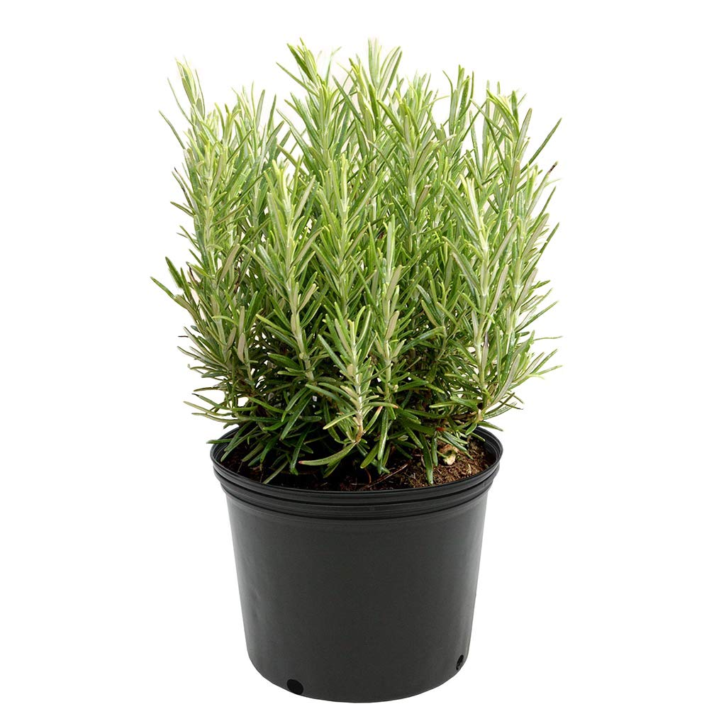 AMERICAN PLANT EXCHANGE Upright Rosemary Indoor/Outdoor Live Plant, 6'' 1 Gallon, Fragrant Cooking Spice by AMERICAN PLANT EXCHANGE (Image #1)