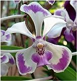 Vanda lilacina - Orchideen - 100 Samen