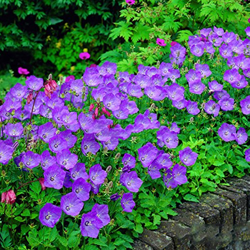 Best Garden Seeds Rare Beautiful Purple Campanula Groundcover Plants for flower bed, 50 Seeds, attract the butterfly improve the environmen