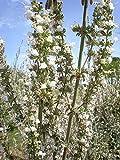 HOT!! - 75 Sacred White SAGE Salvia Apiana Shrub Silver Folliage Native Smudge Seeds