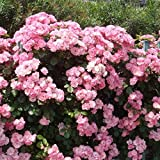 Yuniole Perfume Rock Cress Seeds Climbing Plants Colorful Flower - Non-GMO Aubrieta Hybrida Seeds by Seed Needs for Home Garden