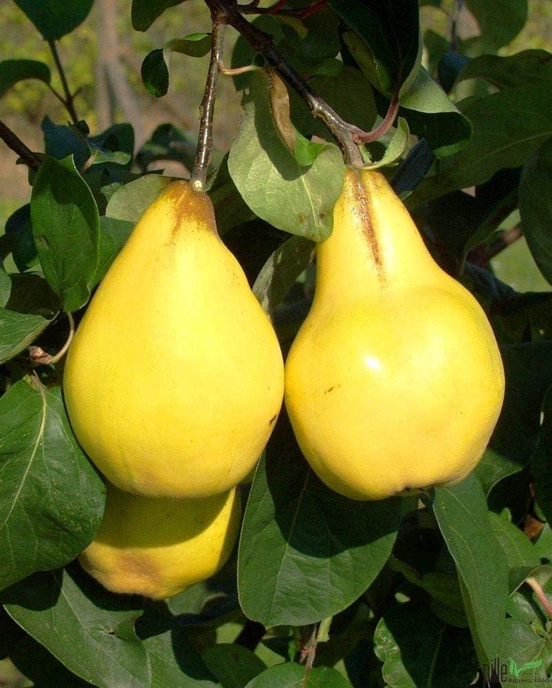 sehr beliebte Delikatesse Apfelquitte 120-150 cm im 7,5 Liter Topf sehr Ertragreich ganzj/ährig pflanzbar direkt aus der Baumschule Apfelquitte